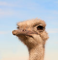 Head of african ostrich male struthio camelus Stock Images