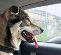 Head of alarming dog sitting in car