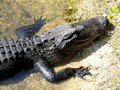 Head of alligator with mouth closed Stock Images