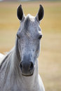 Head of arabian horse Royalty Free Stock Photo