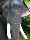 Head of asian elephant the is still found in large areas the continent either free or domesticated for work and processions Royalty Free Stock Image
