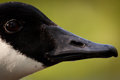 Head and beak of a Canada Goose