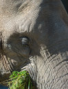 Head of a Big African Elephant Royalty Free Stock Photo
