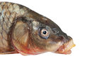 Head of big carp Royalty Free Stock Image
