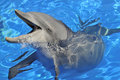 Head of  bottlenose dolphin Royalty Free Stock Photo