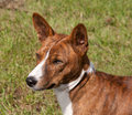Head of a brindle Basenji Stock Image
