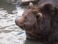 Head of a brown bear close up Royalty Free Stock Photos