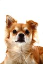 Head of brown chiuahua isolated on the white background Royalty Free Stock Images