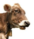 Head of brown cow (bos primigenius taurus) with cowbell Royalty Free Stock Photo