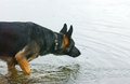 Head of a brown dog german shepherd looking in the water Royalty Free Stock Image
