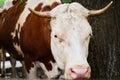 Head of a brown white bull