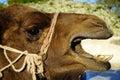 Head of camel Royalty Free Stock Photo