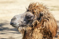 Head of a camel view brown hairy Stock Image