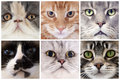 Head of cats six portrait purebred in studio Stock Photo
