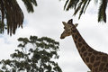 Head in the clouds giraffe amongst trees giraffe appears to be as tall as trees Stock Images