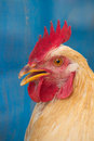 The head of the cock Close-up Royalty Free Stock Photo