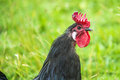 Head of a cock Royalty Free Stock Photo