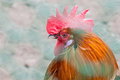 The head of the cock with a red comb close-up Royalty Free Stock Photo