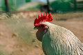 The head of the cock with a red comb close-up, a symbol of 2017 on the Chinese calendar Royalty Free Stock Photo