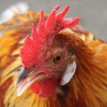 Head of a cockerel Royalty Free Stock Photo