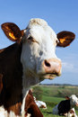 Head of country cow Stock Photo