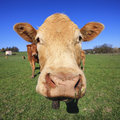 Head of cow on green grass and blue sky Royalty Free Stock Images