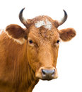 Head of cow, isolated Royalty Free Stock Photo