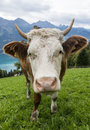 Head of Cow in Meadow Royalty Free Stock Photo