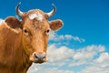 Head of cow over blue sky red looks into camera summer Stock Image