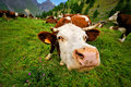 Head of cow walking on a green alps meadow Royalty Free Stock Photo