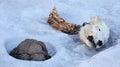 Head of the dead polar bear Royalty Free Stock Photo
