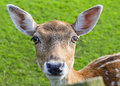Head of deer doe Royalty Free Stock Photo
