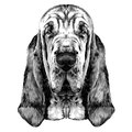 The head of the dog breed Bloodhound vector