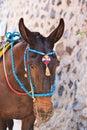 Head of donkey from santorini greece Stock Photography
