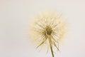 Head of dry dandelion isolated