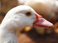 Head duck of in farm Stock Photography