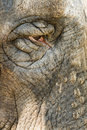 The head and eyes of the elephant close-up. Royalty Free Stock Photo