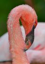 Head Of Flamingo
