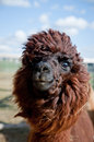 Head of a funny Alpaca Royalty Free Stock Photography