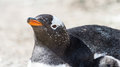 Head of a gentoo penguin falkland islands south atlantic ocean british overseas territory Stock Photos