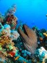 Head of Giant Morey Eel Stock Photos