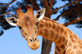 Head of giraffe Royalty Free Stock Image