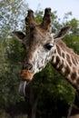 The head of a giraffe Stock Image