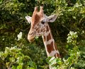The head of giraffe. Royalty Free Stock Photo