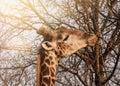 Head of giraffe gnawing at of tree Royalty Free Stock Photo
