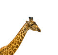 Head of giraffe over white background Royalty Free Stock Images