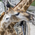 Head of giraffe in zoo the funny giant Royalty Free Stock Photo