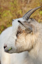Head of a goat Royalty Free Stock Images