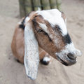 Head of a goat Royalty Free Stock Photo