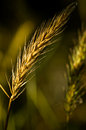 Head of grass lit by an evening sun against a blurred field Royalty Free Stock Photo